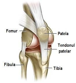 articulația genunchiului drept