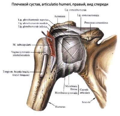 durere de șold care trece în zona inghinală tratament articular după fractura de gleznă