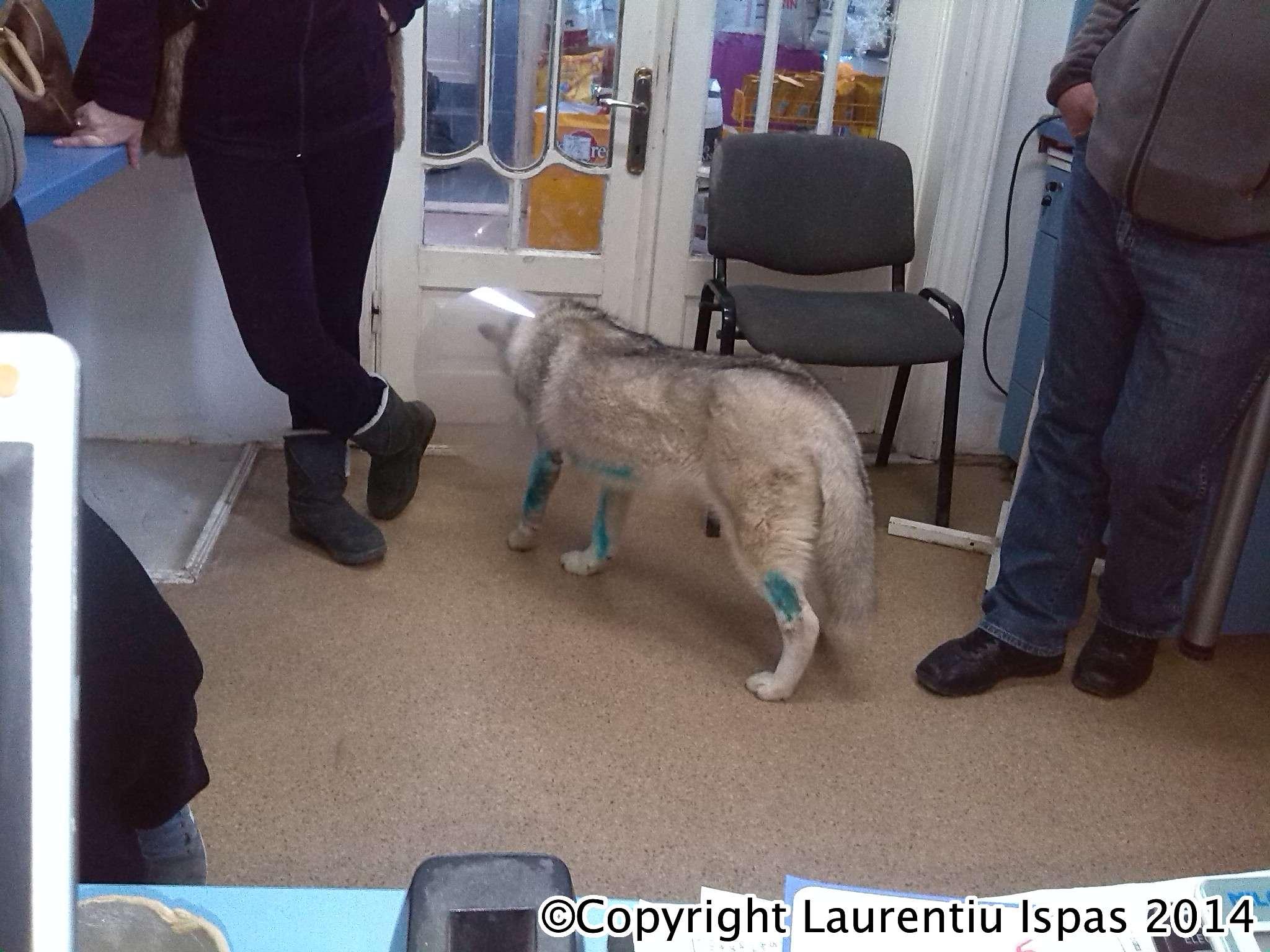 Boala articulației Husky