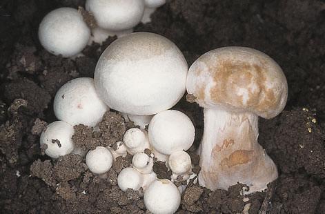 ciuperci în tratamentul artrozei