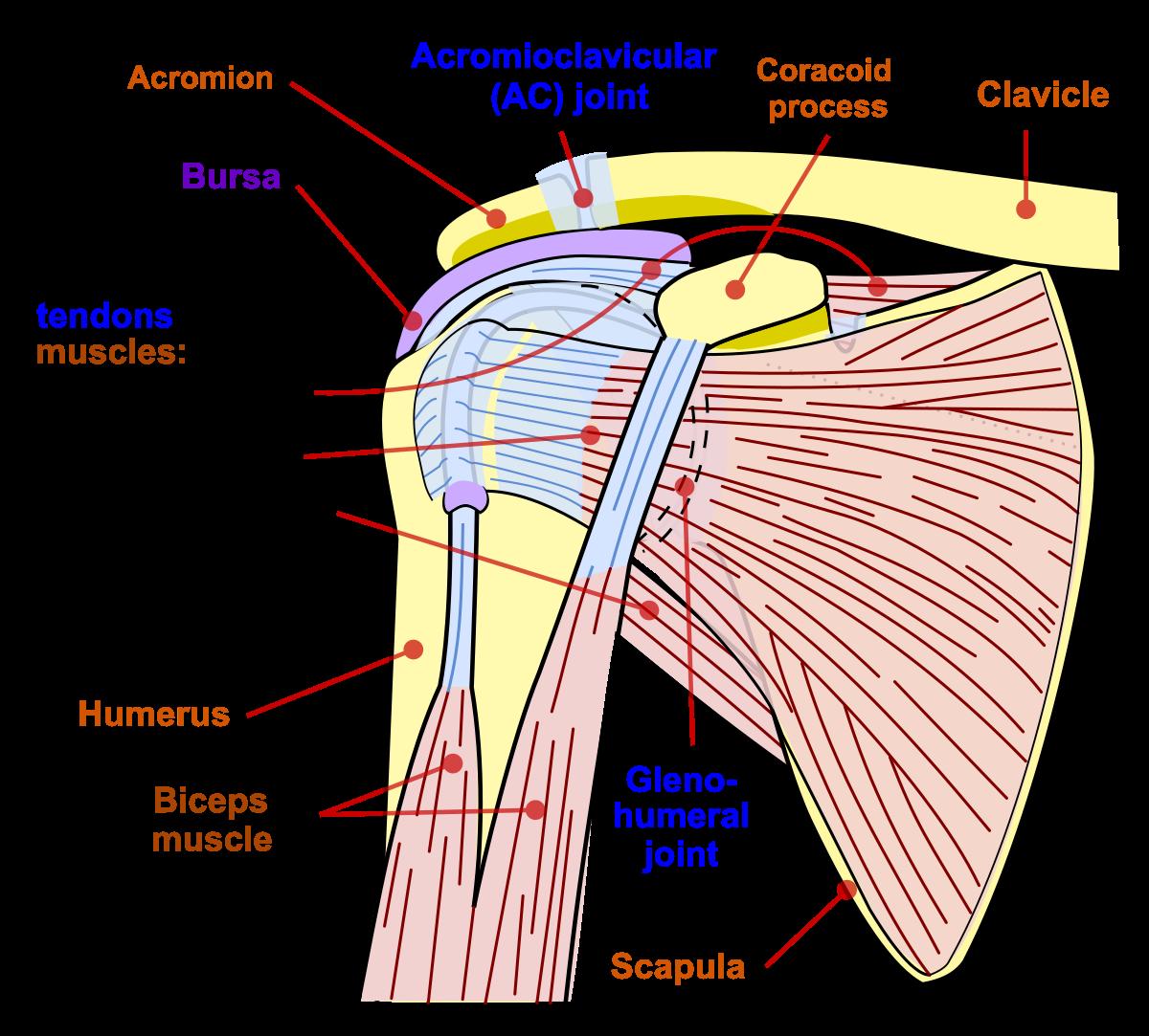 Boli ale articulațiilor umărului - Boli ale articulațiilor umărului uman