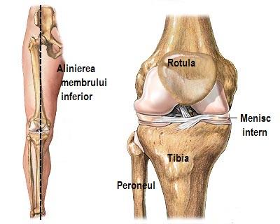 fixează o articulație a genunchiului