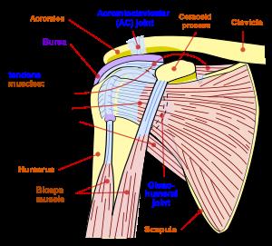 numele bolii articulației umărului aminoacizi pentru restaurarea țesutului conjunctiv