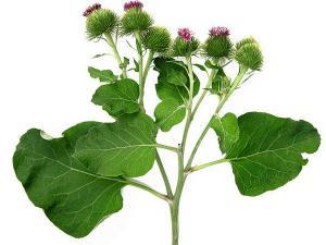 Tratamentul durerii articulare de brusture - 5 plante care combat durerile de articulaţii